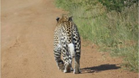 Good News for Leopards